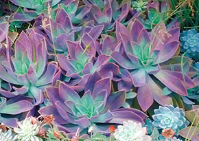 purple-green-succulents-sm2